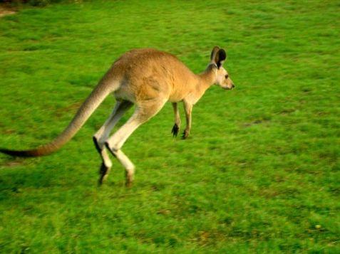 இந்தியாவின் பால் மனிதர் என்று அழைக்கப்படுபவர்…(பொது அறிவு தகவல்) 12338-kangaroo