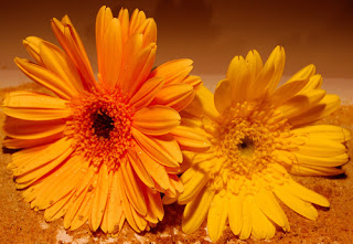 gerbera-orange-flower-flowers-nature.jpeg.jpg