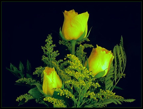 three_yellow_roses_by_thom_b_foto.jpg
