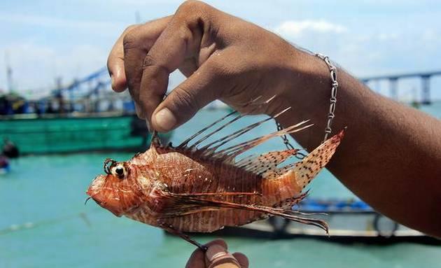 விஷ சேவல் கோழி மீன் 21marafipamban-fish