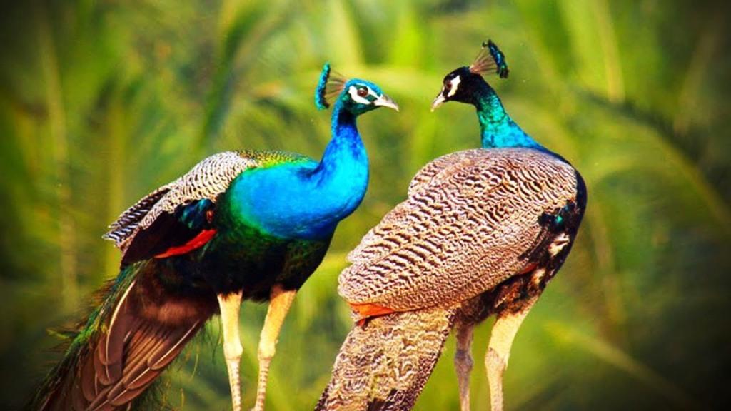 தேவையான இடத்தில் முற்றுப்புள்ளி கட்டாயம் வேண்டும்.. Peacock